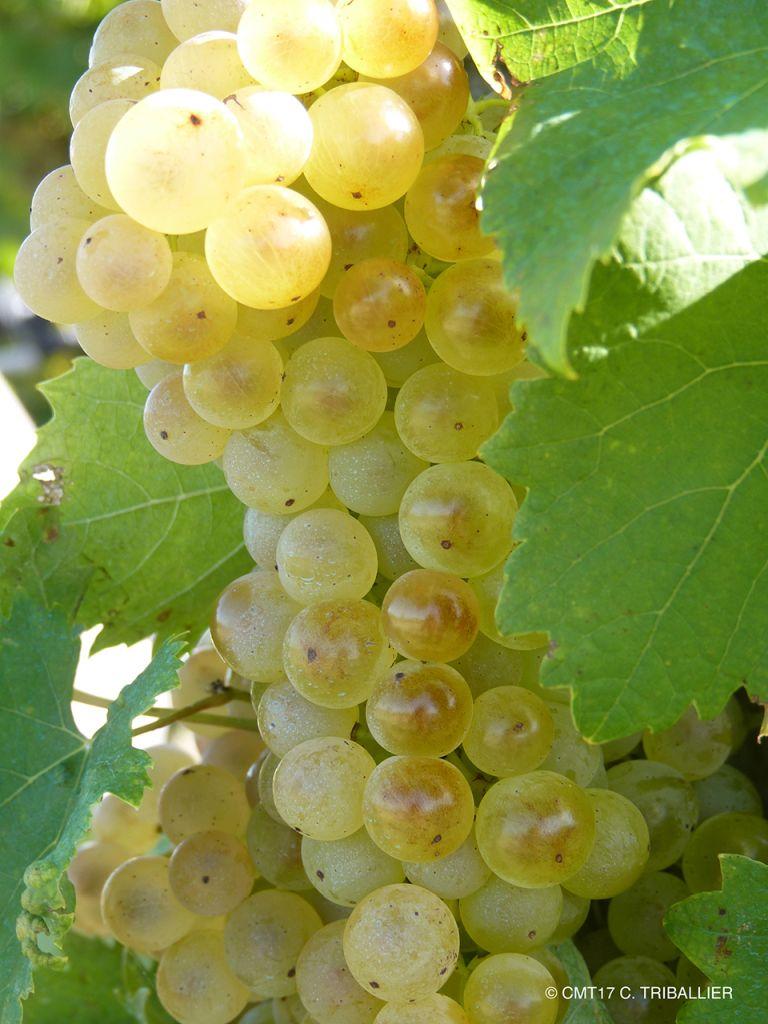 Französischkurse in La Rochelle - Grabes de raisin