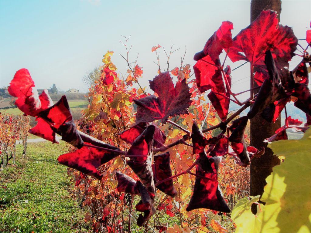 Nebbiolo Wein - Italienisch Sprachreise nach Piemont